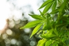 As marijuana legalization spreads, how will it affect life insurance?